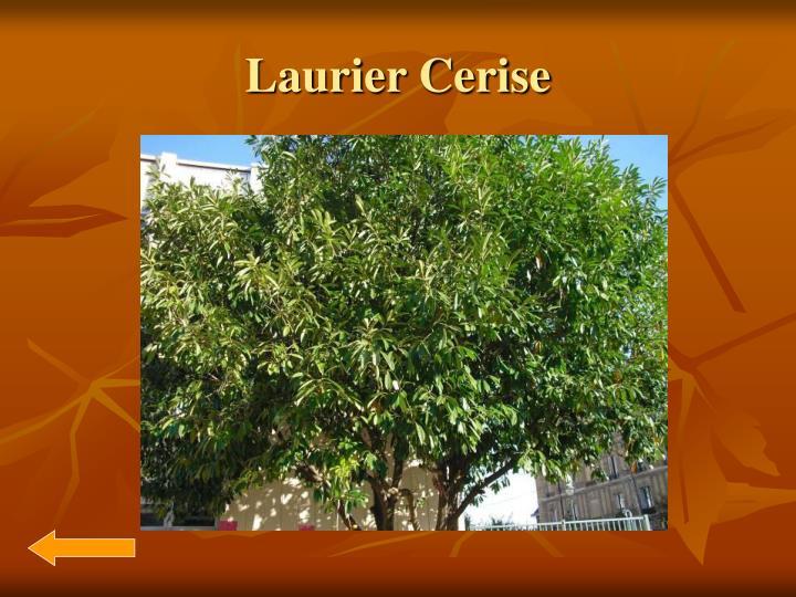 Laurier Cerise