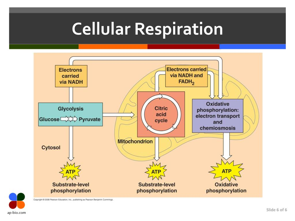 Ppt Cell Respiration Powerpoint Presentation Free Download Id 3132587