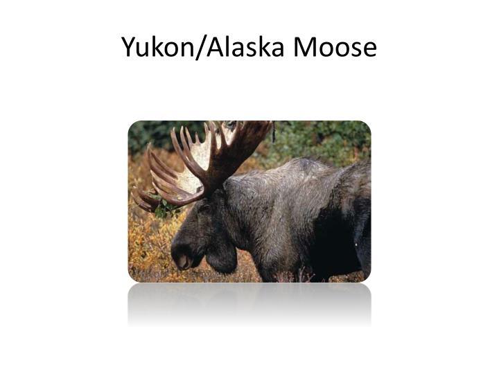 Yukon alaska moose