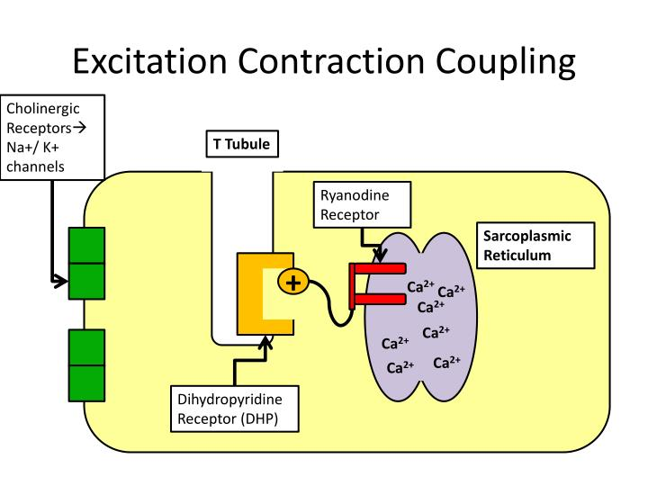 Excitation Contraction Coupling