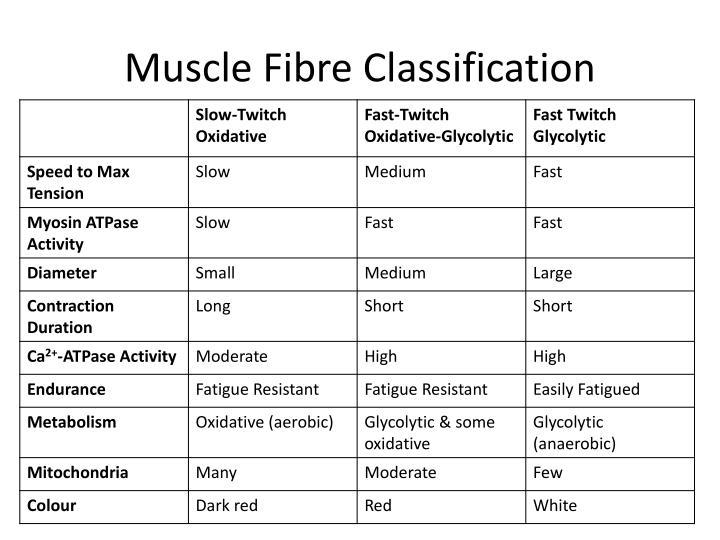Muscle Fibre Classification