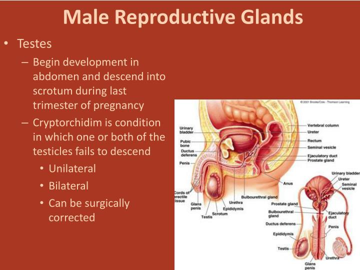 Male Reproductive Glands