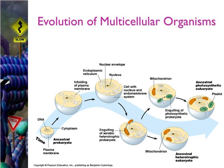 Evolution of Multicellular Organisms