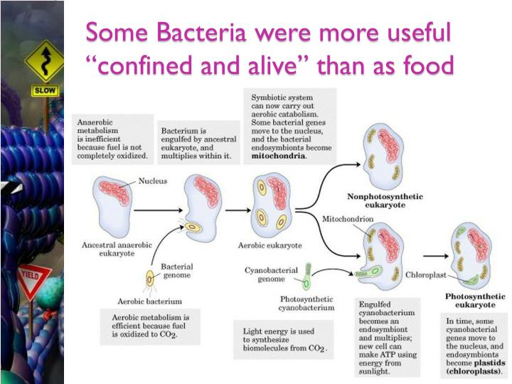 "Some Bacteria were more useful ""confined and alive"" than as food"