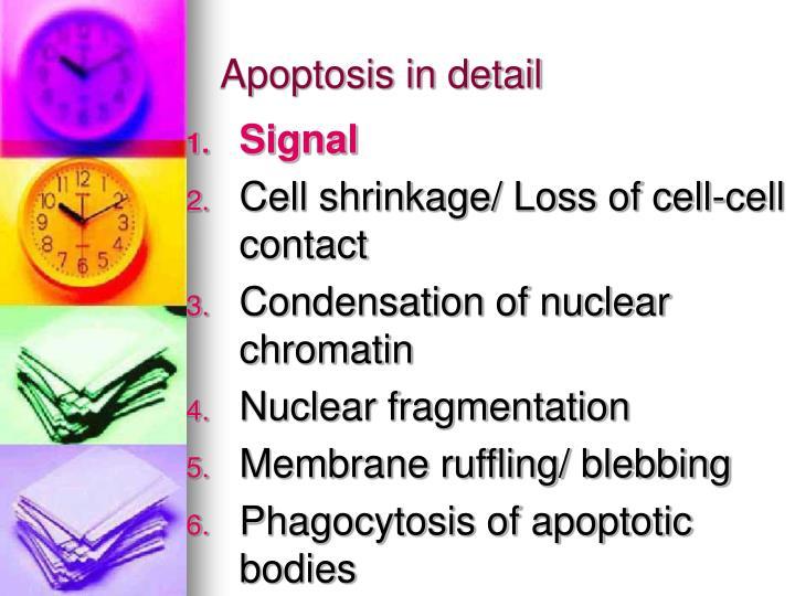 Apoptosis in detail