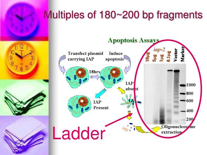 Multiples of 180~200 bp fragments