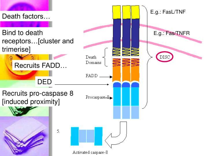 E.g.: FasL/TNF