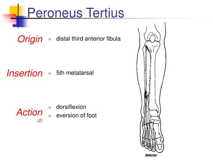 PPT - Musculoskeletal Anatomy Quiz PowerPoint Presentation - ID:3144588