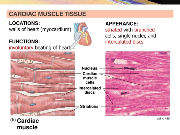 Ppt Muscle Tissues Powerpoint Presentation Id3146992