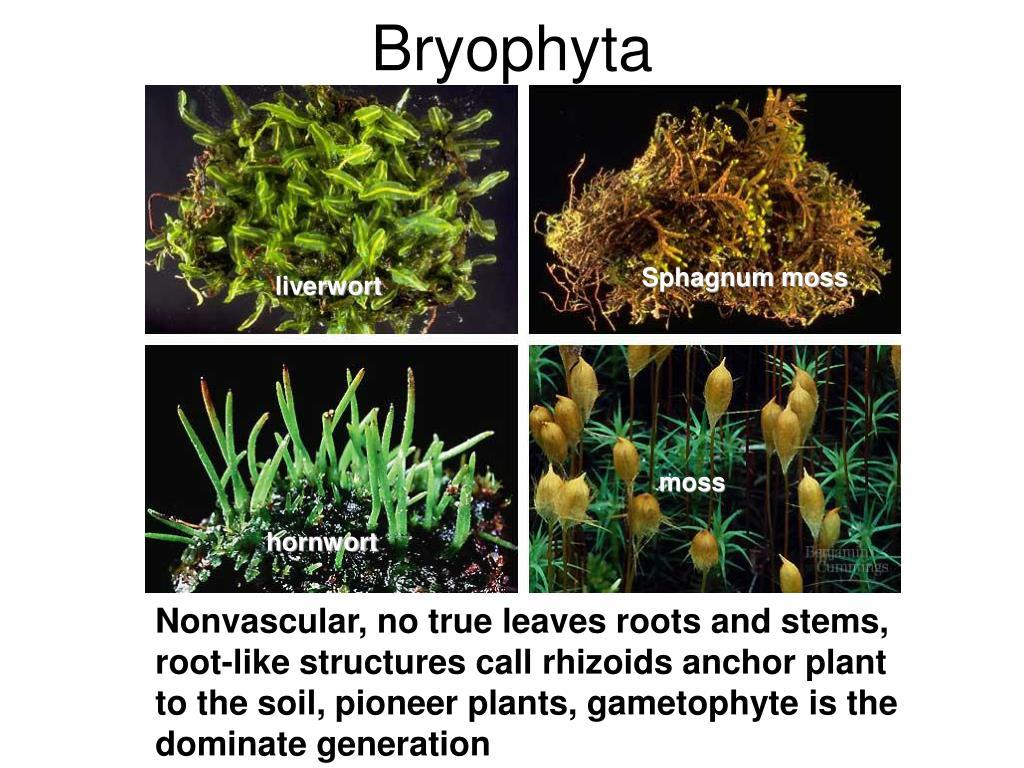 Ppt - Bryophyta Powerpoint Presentation  Free Download