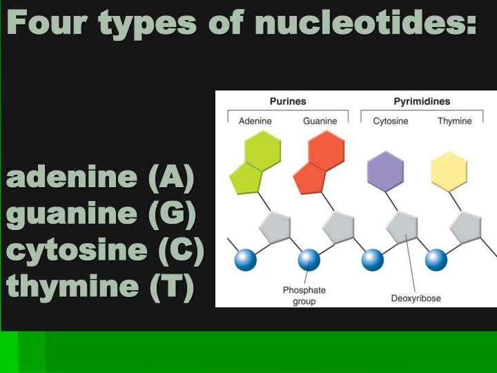 Four types of nucleotides:
