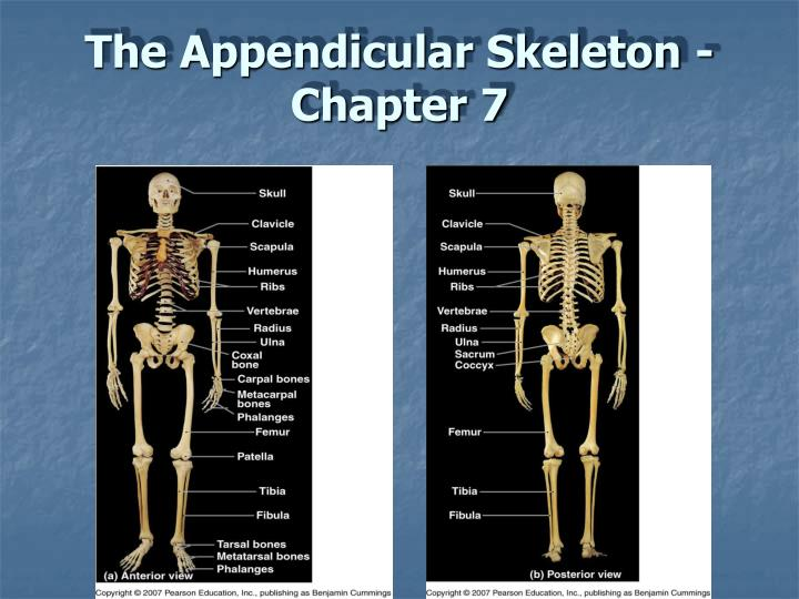 PPT The Appendicular Skeleton Chapter 7 PowerPoint