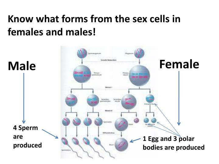 Know what forms from the sex cells in females and males!