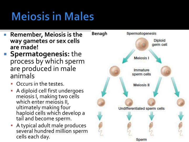 Meiosis in Males