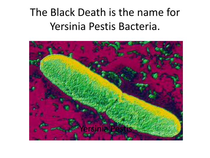 The Black Death is the name for Yersinia Pestis Bacteria.