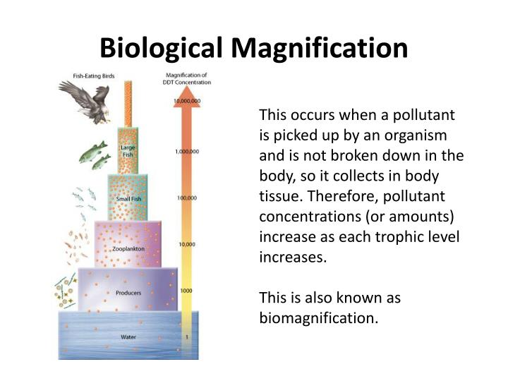 biological magnification essay In which organism would biological magnification be most evident aamerican eel bring-billed gull calgae dshrimp part 1 of 1 - question 3 of 25  express your owns thoughts and ideas on this essay by writing a grade and/or critique no comments sign up or login to your account to leave your opinion on this essay.