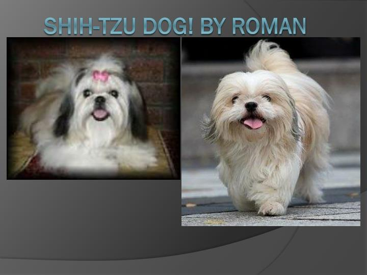 shih tzu dog by roman n.