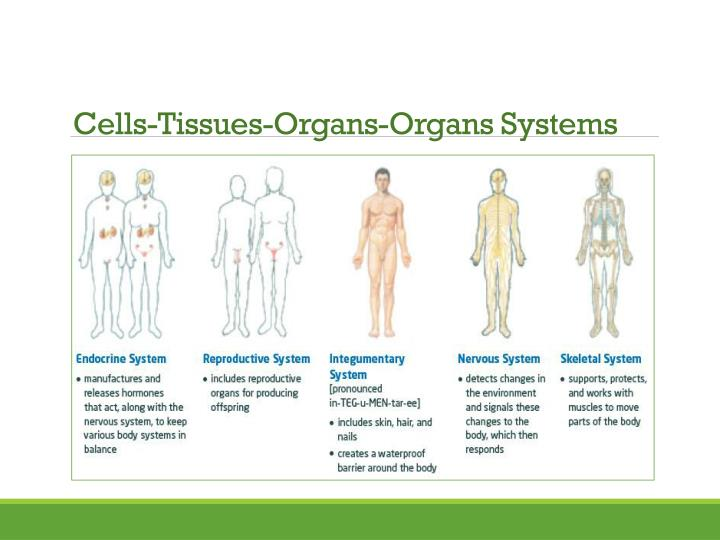 Cells-Tissues-Organs-Organs Systems
