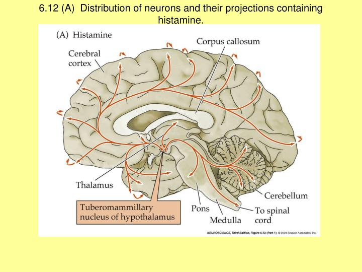 6.12 (A)  Distribution of neurons and their projections containing histamine.