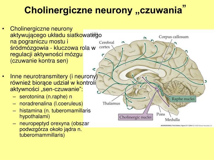 """Cholinergiczne neurony """"czuwania"""