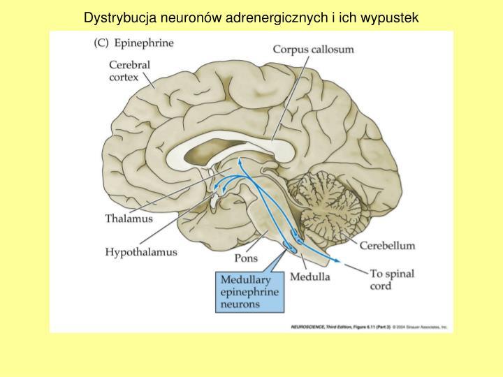 Dystrybucja neuronów adrenergicznych i ich wypustek