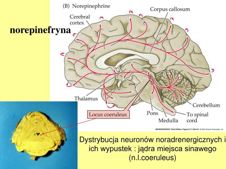 Dystrybucja neuronów noradrenergicznych i ich wypustek : jądra miejsca sinawego (n.l.coeruleus)