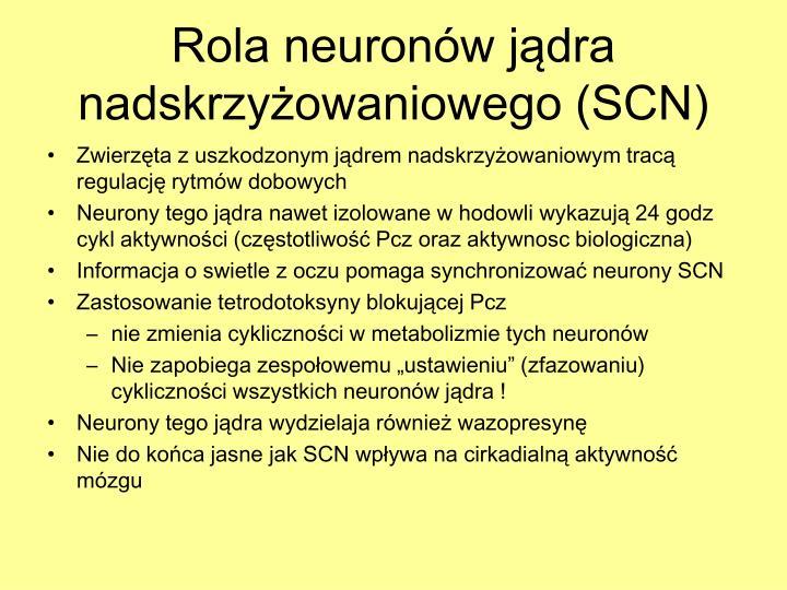 Rola neuronów jądra nadskrzyżowaniowego (SCN)
