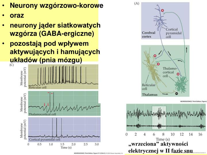 Neurony wzgórzowo-korowe