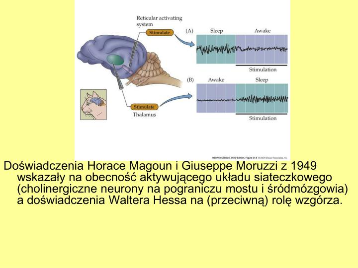 Doświadczenia Horace Magoun i Giuseppe Moruzzi z 1949 wskazały na obecność aktywującego układu siateczkowego (cholinergiczne neurony na pograniczu mostu i śródmózgowia) a doświadczenia Waltera Hessa na (przeciwną) rolę wzgórza.