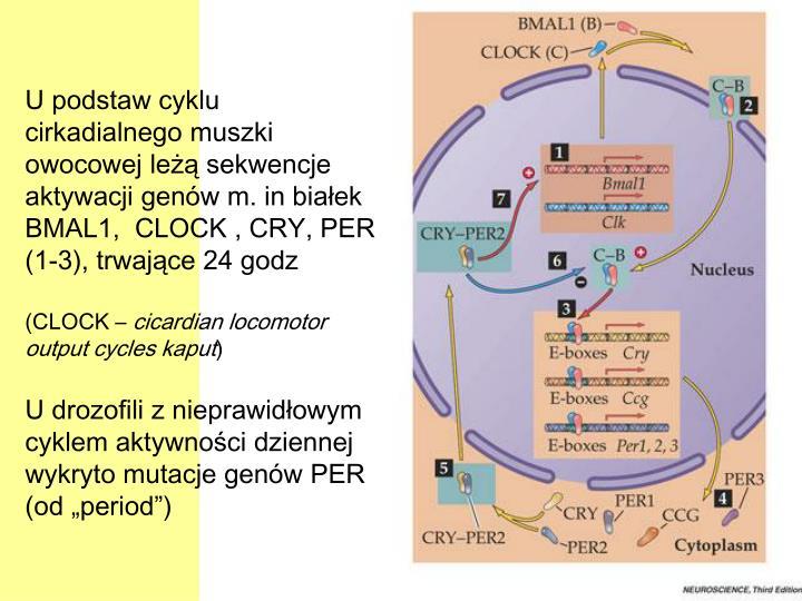 U podstaw cyklu cirkadialnego muszki owocowej leżą sekwencje aktywacji genów m. in białek BMAL1,  CLOCK , CRY, PER (1-3), trwające 24 godz