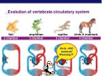 evolution of vertebrate circulatory system
