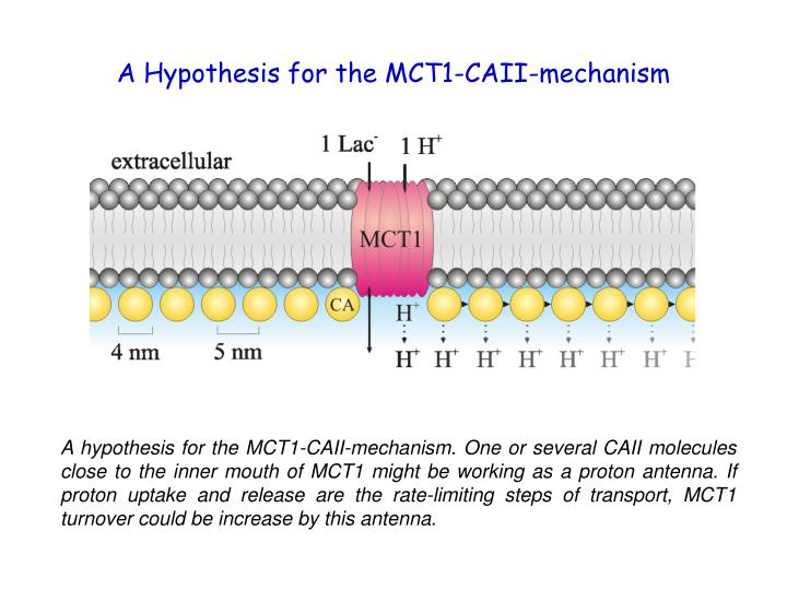 A Hypothesis for the MCT1-CAII-mechanism