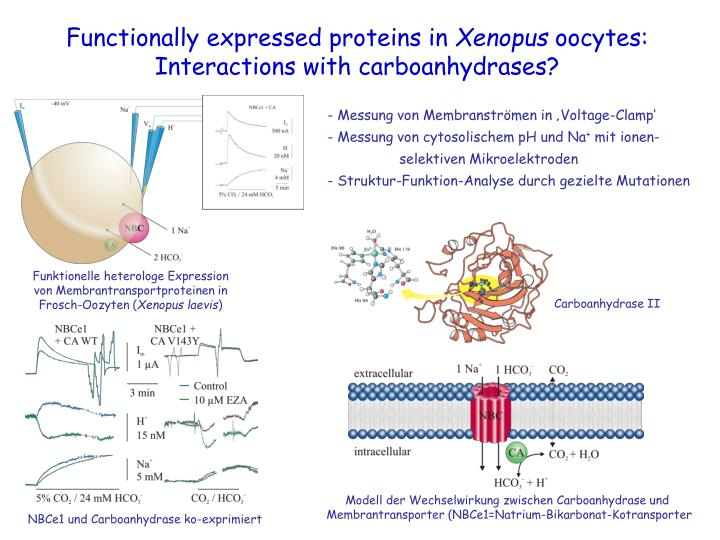Functionally expressed proteins in