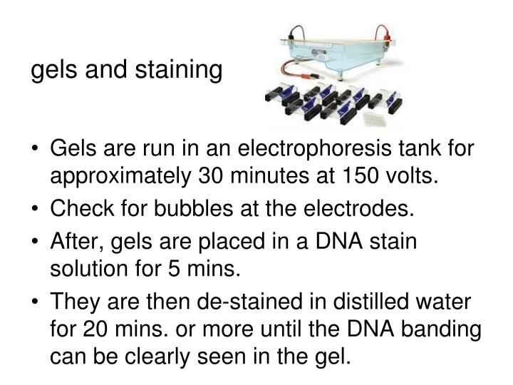 gels and staining