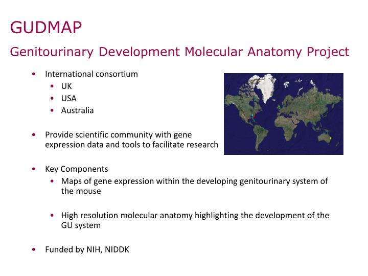 Ppt The Gudmap Database An Online Resource For The Genitourinary