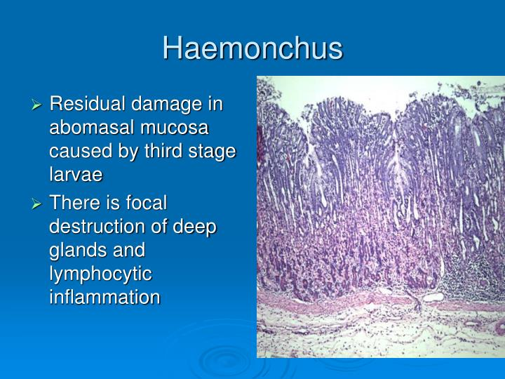 Residual damage in abomasal mucosa caused by third stage larvae