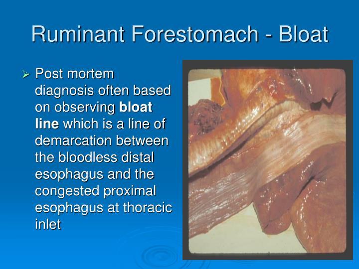 Ruminant Forestomach - Bloat