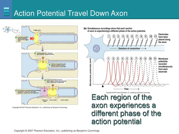 Action Potential Travel Down Axon