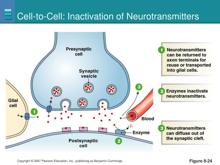 Cell-to-Cell: Inactivation of Neurotransmitters