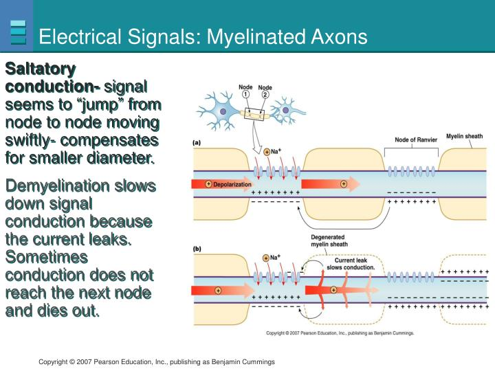 Electrical Signals: Myelinated Axons