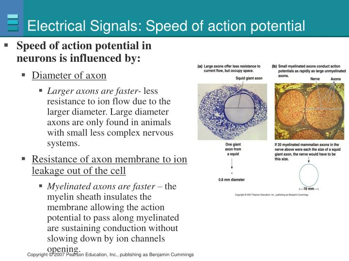 Electrical Signals: Speed of action potential