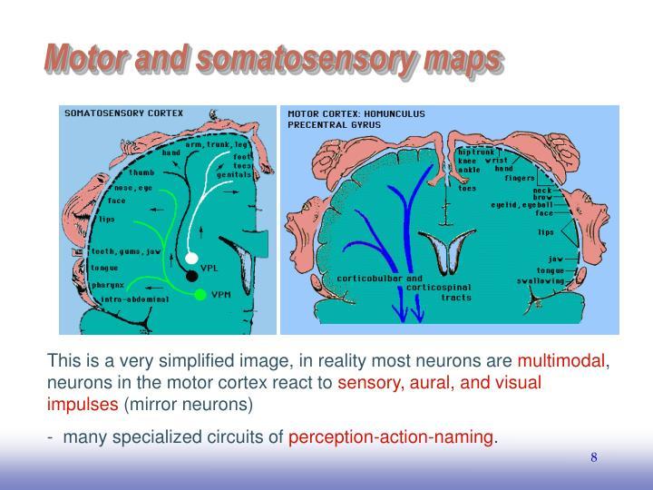 Motor and somatosensory maps