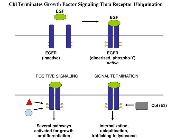 Cbl Terminates Growth Factor Signaling Thru Receptor Ubiquination