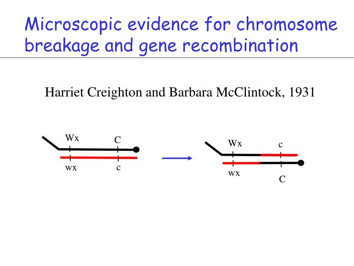 Microscopic evidence for chromosome breakage and gene recombination