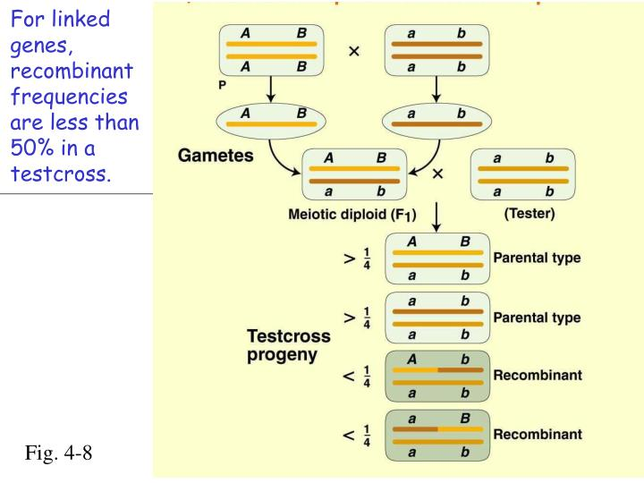 For linked genes, recombinant frequencies are less than 50% in a testcross.