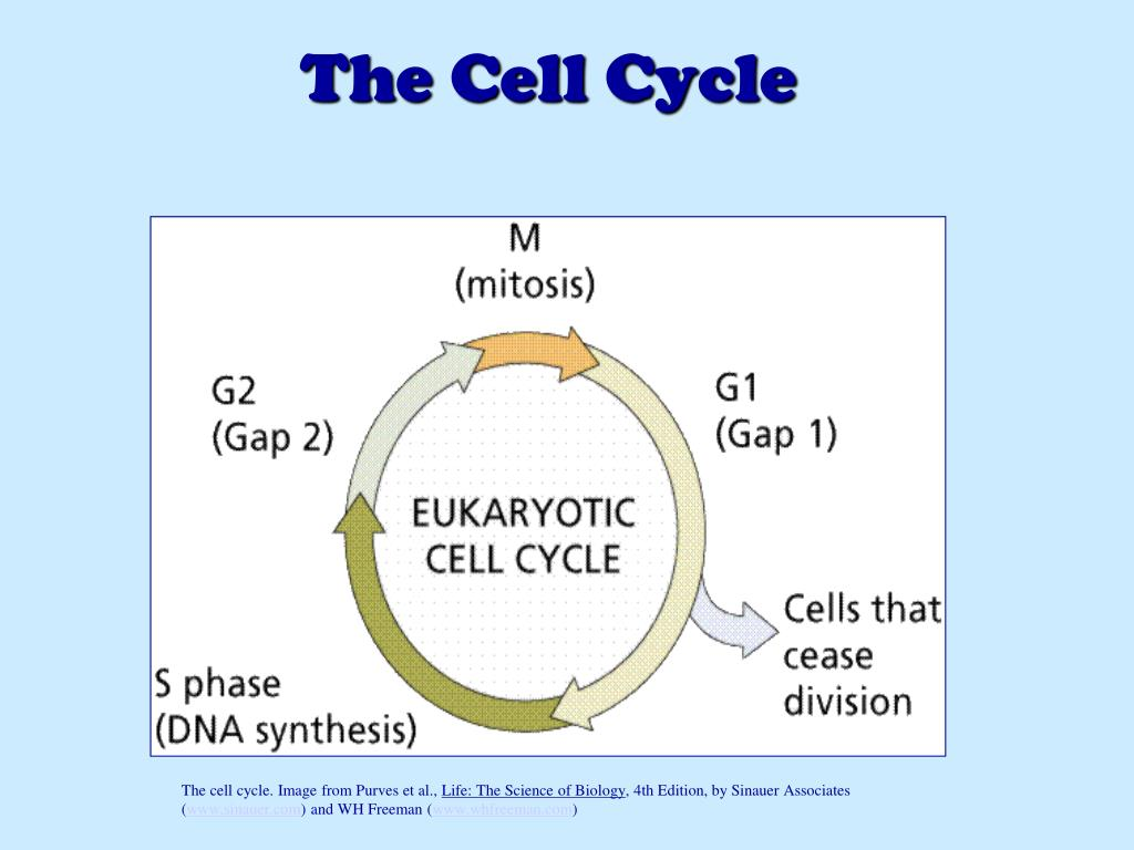 Ap biology chapter 12: the cell cycle: cell growth, cell division.