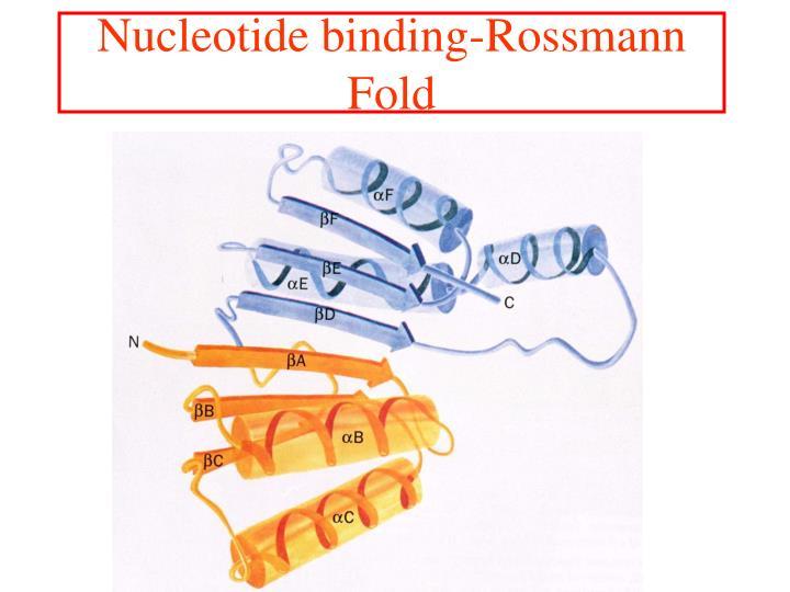 Nucleotide binding-Rossmann Fold