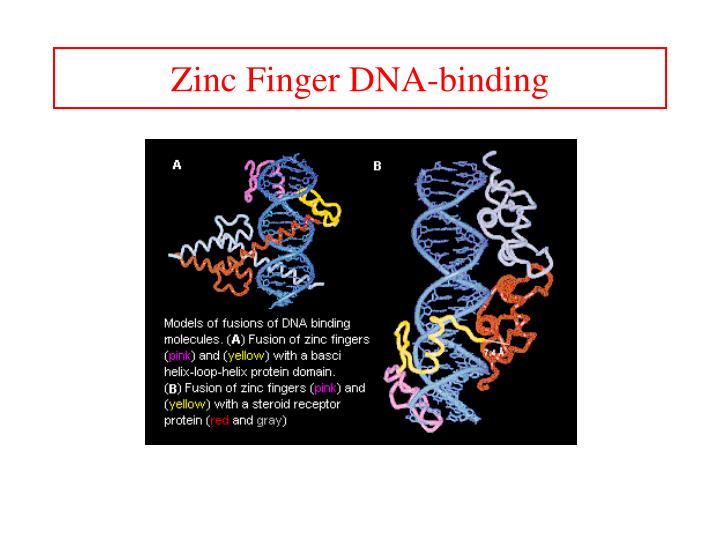 Zinc Finger DNA-binding