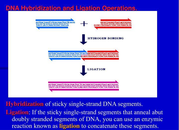 DNA Hybridization and Ligation Operations.