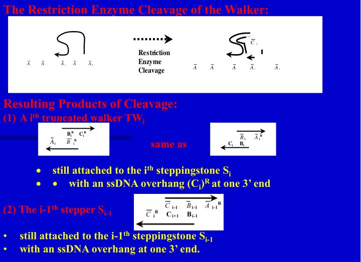 The Restriction Enzyme Cleavage of the Walker: